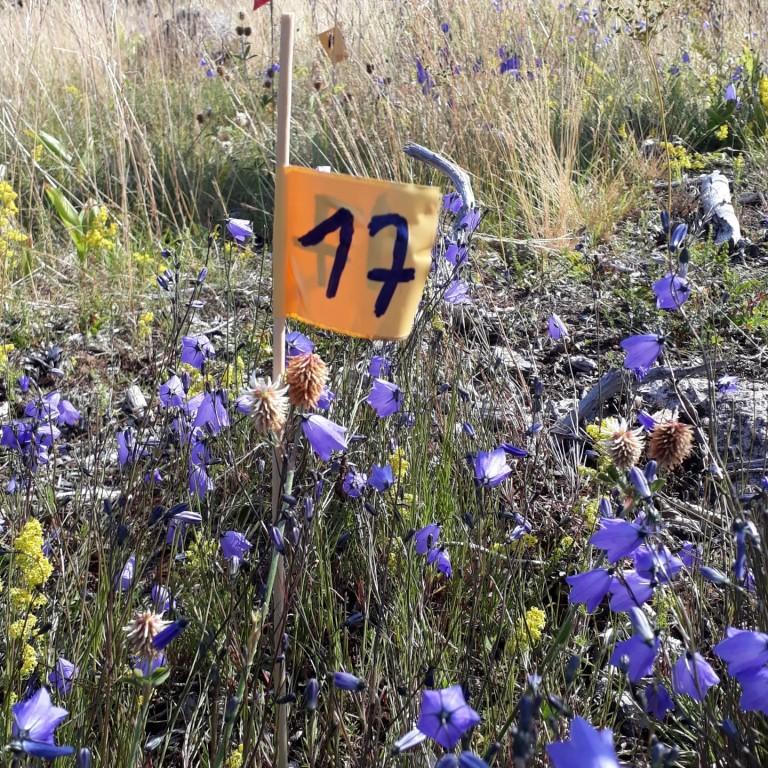 Campanula rotundifolia fieldwork 2019