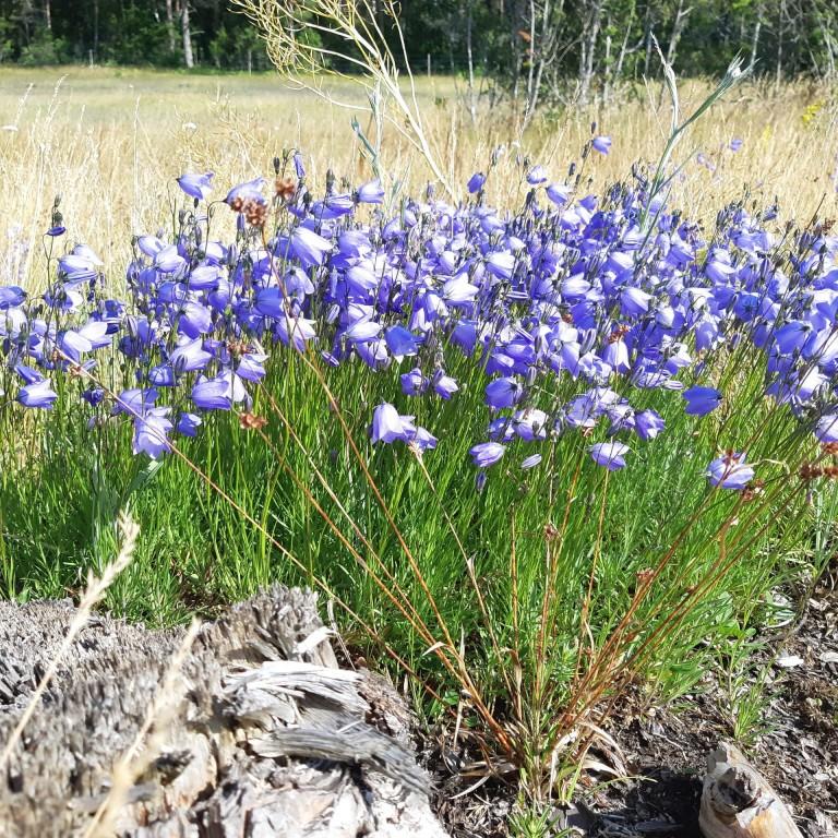 Campalnula rotundifolia 1