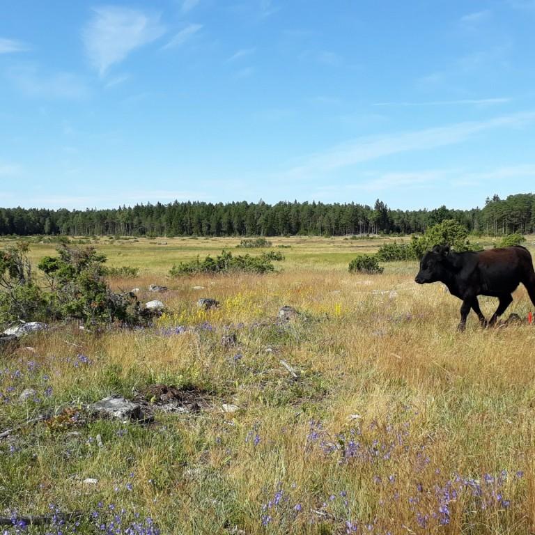 Campanula rotundifolia and cow fieldwork 2019