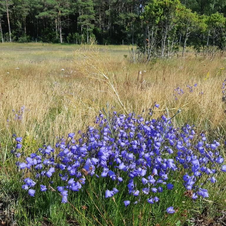 Campalnula rotundifolia 2