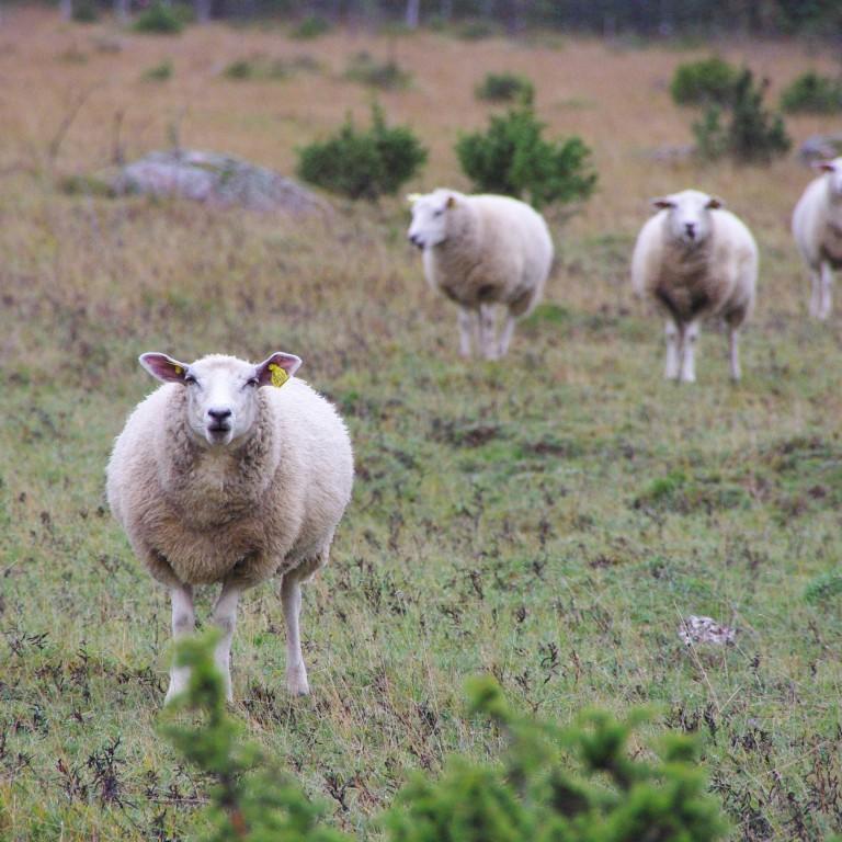 Lammastega loopealne